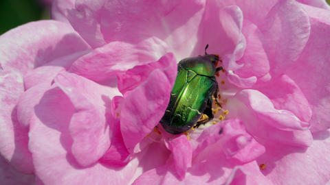Green Beetle Cetonia Aurata On The Rose Macro Shot Footage