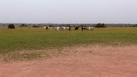 Cows in a field in Africa Footage