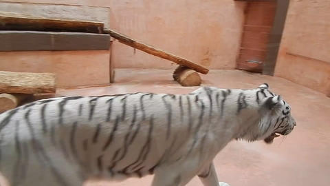 White large tiger walks through the aviary Live Action