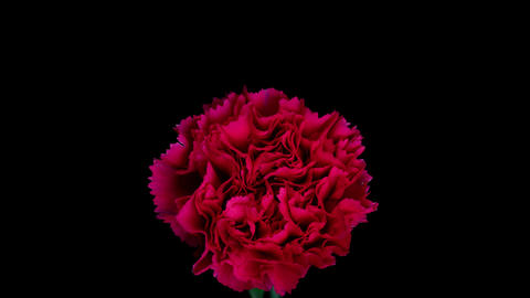 Flowering of carnation Footage