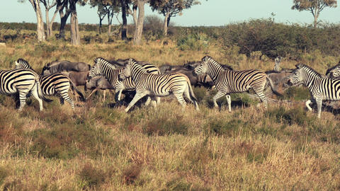 Zebras and Wildebeasts are seen running across the plains Footage