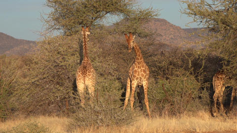 Two young male giraffes are seen fighting for the affections of a female in Live Action