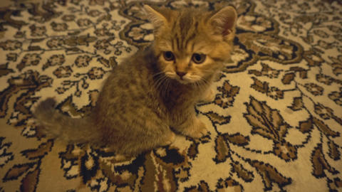Striped kitten on a carpet Footage