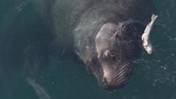 Portrait of Steller Sea Lion (Eumetopias Jubatus) swims... Stock Video Footage