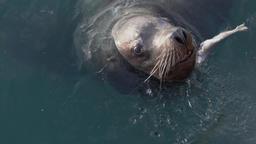 Portrait of Steller Sea Lion (Eumetopias Jubatus) swims in water Footage