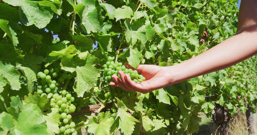 Woman Holding Fresh Grapes Growing In Vineyard Stock Video Footage