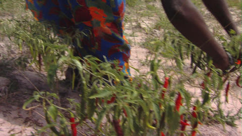 African woman picking chili peppers Footage