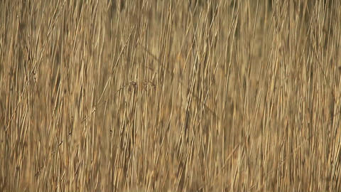 Dry cattail swing in wind background Footage