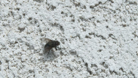 Extreme close-up of a fly rubbing its legs Live Action