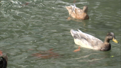 Ducks competing for food in a pond Footage