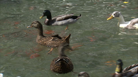 Ducks trying to get food in a pond Footage