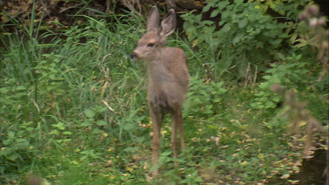 Little deer is frightened and runs off Footage