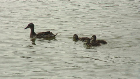 Close up of ducklings swimming behind their mother Footage