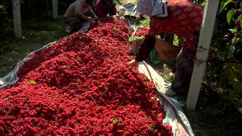 People harvesting berries in China Footage