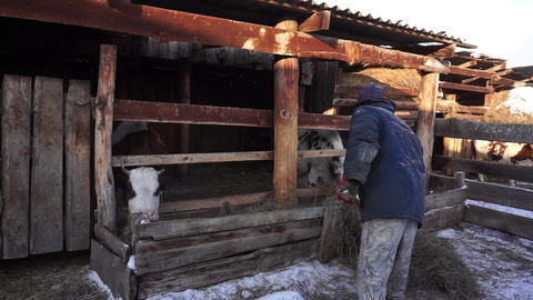 A farmer works with household chores. Cattle. Village Footage