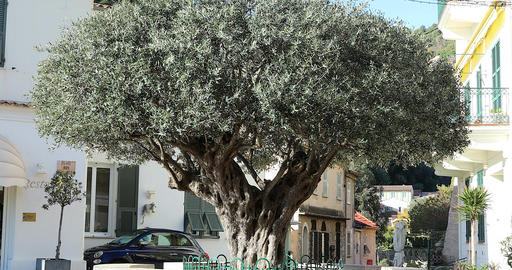 Old Olive Tree On The Old Village Of Roquebrune-Cap-Martin Footage