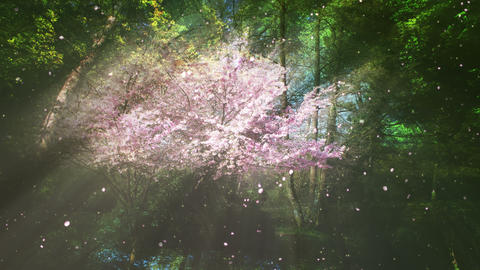 Sakura Tree And Forest Stock Video Footage