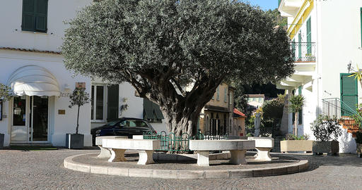 Old Olive Tree On The Old Village Square In Roquebrune-Cap-Martin France Footage