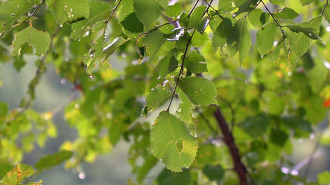 Drops of summer rain on green leaves. Rain in the forest Footage
