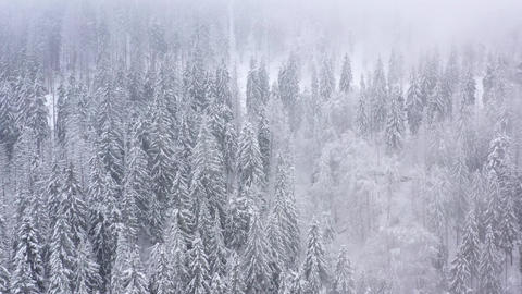 Flight over snowstorm in a snowy mountain coniferous forest, foggy unfriendly 영상물
