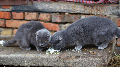 Gray cat eats with pleasure Footage