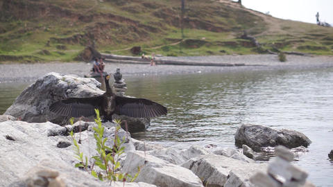 Black Cormorant sitting on stone and spreading wings against the backdrop of a Footage