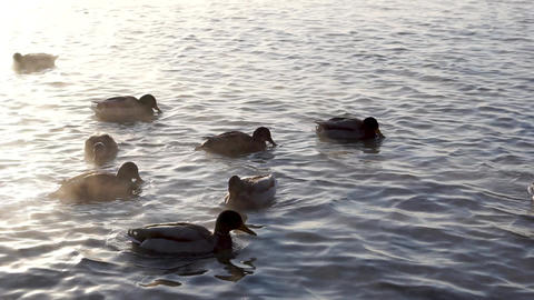 Wild ducks on the river Footage