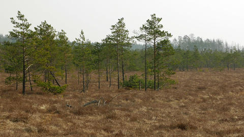 Small swamp pine trees. Sunny day in bog marsh land Footage