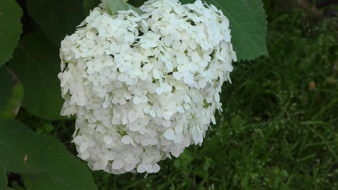 White hydrangea flowers Live Action