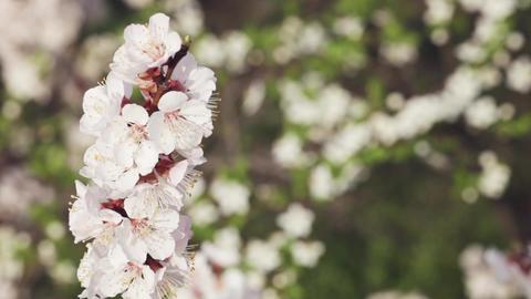 Flowering cherry in spring ビデオ