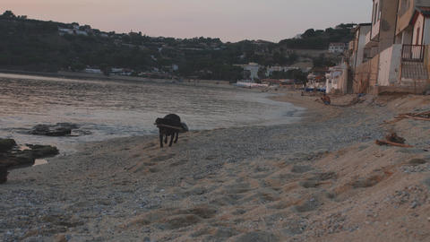 Cute young black labrador runs with stick on sea shore at sunset time Footage
