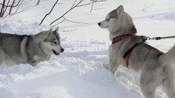 Two dogs of husky play before skijor racing and sled dog racing Footage