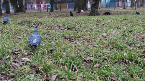 flock of pigeons in the city park walking on the grass, shooting from below ビデオ
