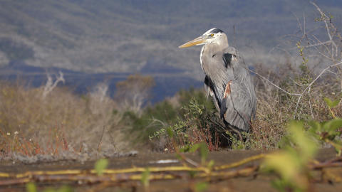 Great blue heron on Galapagos Islands Footage