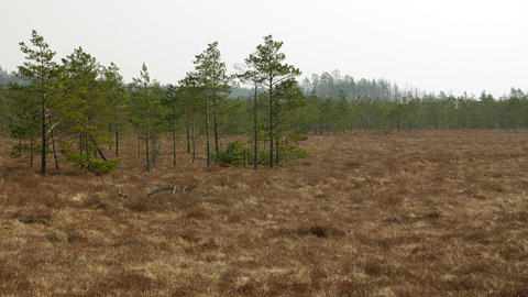 Small swamp pine trees. Sunny day in bog marsh land Live Action