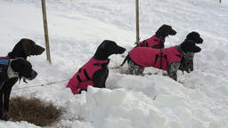 Dogs in warm vests before winter skijor racing Footage