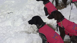 Dogs in warm vests before winter sled dog racing GIF