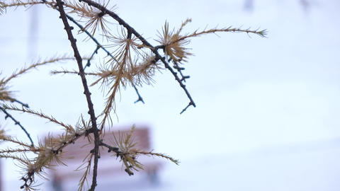 Branch of a coniferous tree in winter Footage