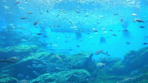 三陸沖のイワシの群れ大水槽 Footage