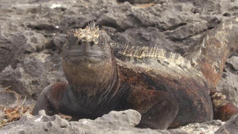 Galapagos Marine Iguana - Amazing animals and wildlife of Galapagos Islands Footage