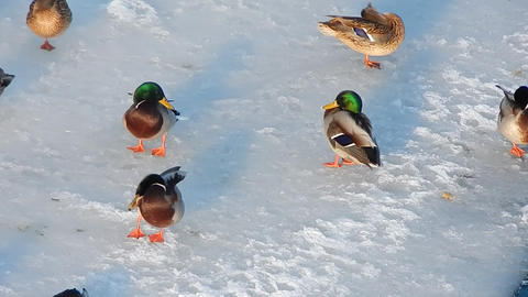 Ducks sit on the ice and swim in the river Live Action