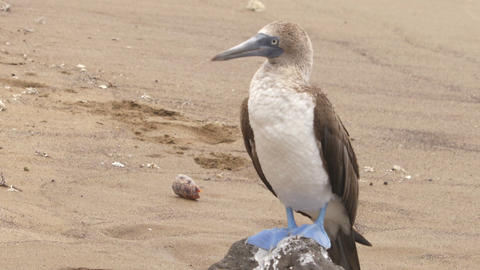 Blue-footed Booby - Iconic famous galapagos wildlife Footage