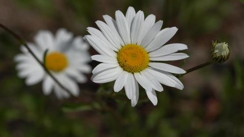 Common daisy, Leucanthemum vulgare Footage