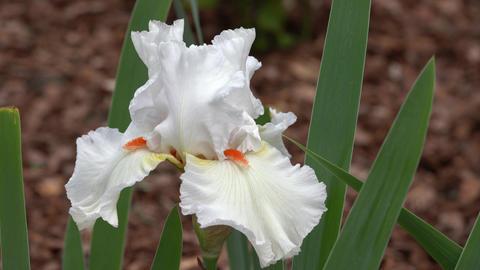 German iris, Iris barbata Footage
