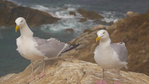 Two Gull on a rock near the cliff and the ocean GIF