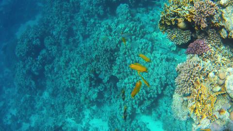 A Heniochus fish GIF