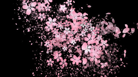 Cherry blossoms and flower petal are blooming along the trajectory ,in black CG動画素材