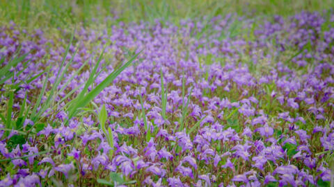 Small purple flowers growing strong in weeds taken in the countryside of Japan Footage