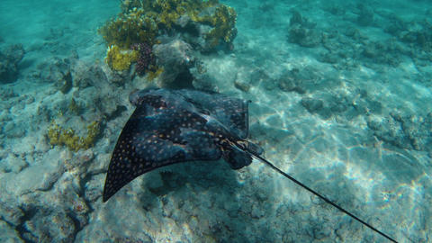 A stingray fish Footage