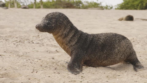 Galapagos Sea Lion cubs playful running in sand on beach Galapagos Islands Live Action